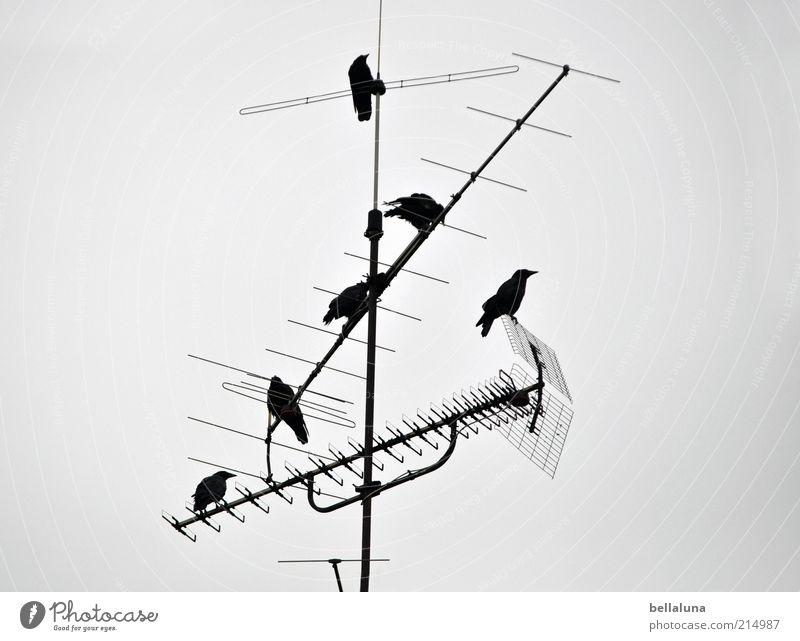 Meeting Himmel Natur Winter Tier Umwelt Wetter Vogel sitzen Tiergruppe Wildtier Schönes Wetter Antenne Schwarm Krähe Rabenvögel Technik & Technologie