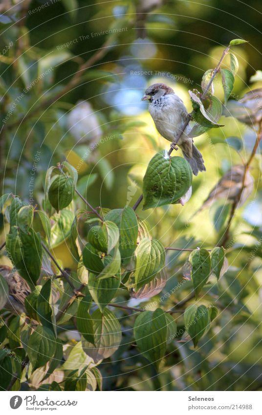 Hey, Spätzchen Natur Baum Pflanze Sommer Tier Vogel warten klein Umwelt Spatz Zweige u. Äste