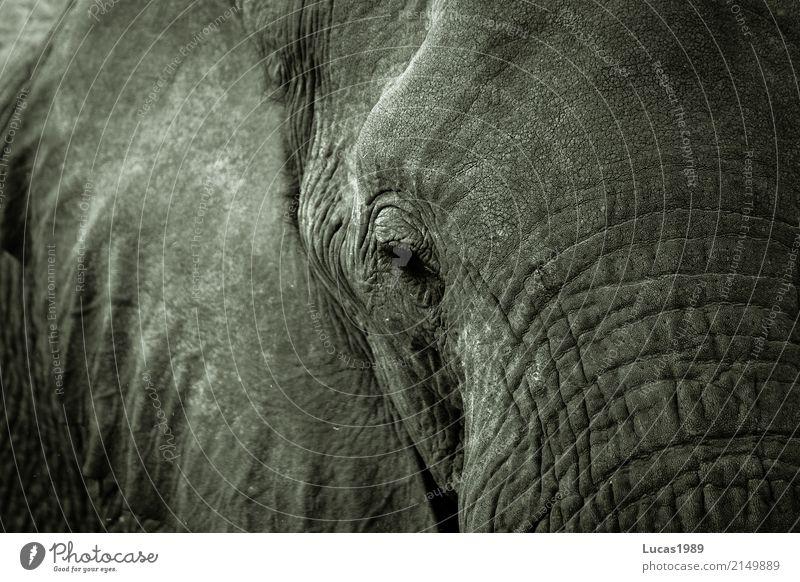 Elefant weiß Tier ruhig schwarz grau Park Wildtier Kraft stark Hautfalten Tiergesicht Nationalpark Wimpern schwer Elefantenhaut