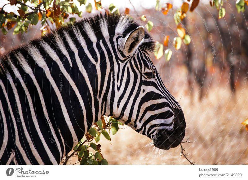 Zebra Ferien & Urlaub & Reisen Tourismus Ausflug Abenteuer Ferne Freiheit Safari Expedition Umwelt Natur Landschaft Pflanze Tier Baum Gras Sträucher Blatt