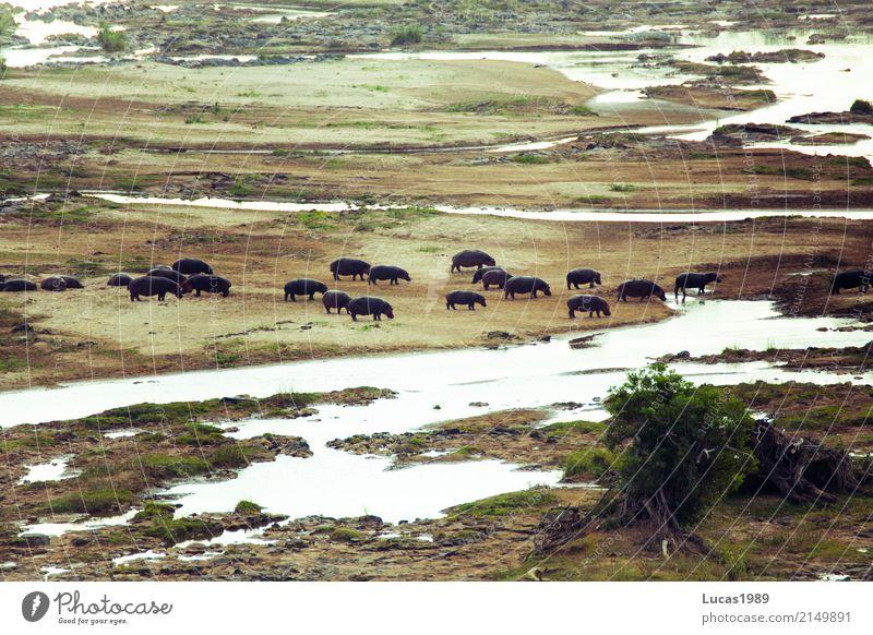 Hippos Umwelt Natur Landschaft Pflanze Tier Schlucht Flussufer See Bach Krüger Nationalpark Flußpferd 1 Tiergruppe Herde Tierfamilie trinken Wasserstelle