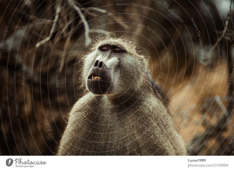 Äffchen Ferien & Urlaub & Reisen Tourismus Ausflug Abenteuer Safari Expedition Zähne Gebiss Umwelt Natur Landschaft Pflanze Tier Baum Sträucher Wildtier Affen 1