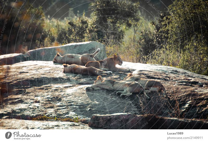 the lion sleeps tonight Umwelt Natur Landschaft Tier Klima Schönes Wetter Park Hügel Felsen Krüger Nationalpark Wildtier Löwe Raubkatze Tiergruppe Rudel