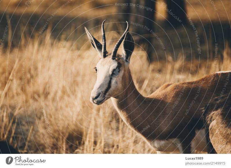 Impala Natur Ferien & Urlaub & Reisen Pflanze Baum Tier ruhig Ferne Wald Umwelt Wiese Gras Freiheit Tourismus braun Ausflug Park