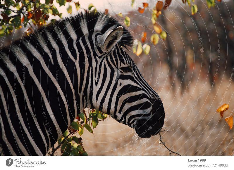 Zebras Streifen Natur Pflanze Sommer weiß Landschaft Tier ruhig Wald schwarz Umwelt Wiese Linie Park Wildtier Sträucher Schönes Wetter