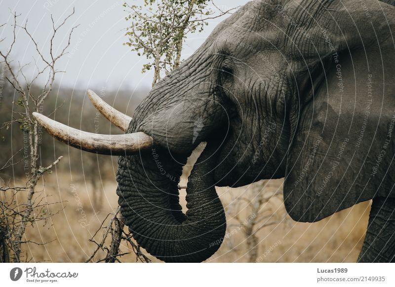 Elefant macht Mittagspause Ernährung Essen trinken Natur Landschaft Pflanze Baum Gras Sträucher Park Wiese Wald Urwald Krüger Nationalpark Tier Wildtier