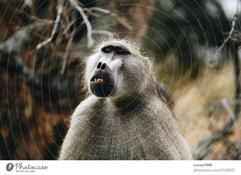 Zähne zeigen Umwelt Natur Landschaft Pflanze Tier Park Krüger Nationalpark Wildtier Affen 1 Wut fletschen Lächeln Zahnarzt haarig Fell grau Maul Farbfoto