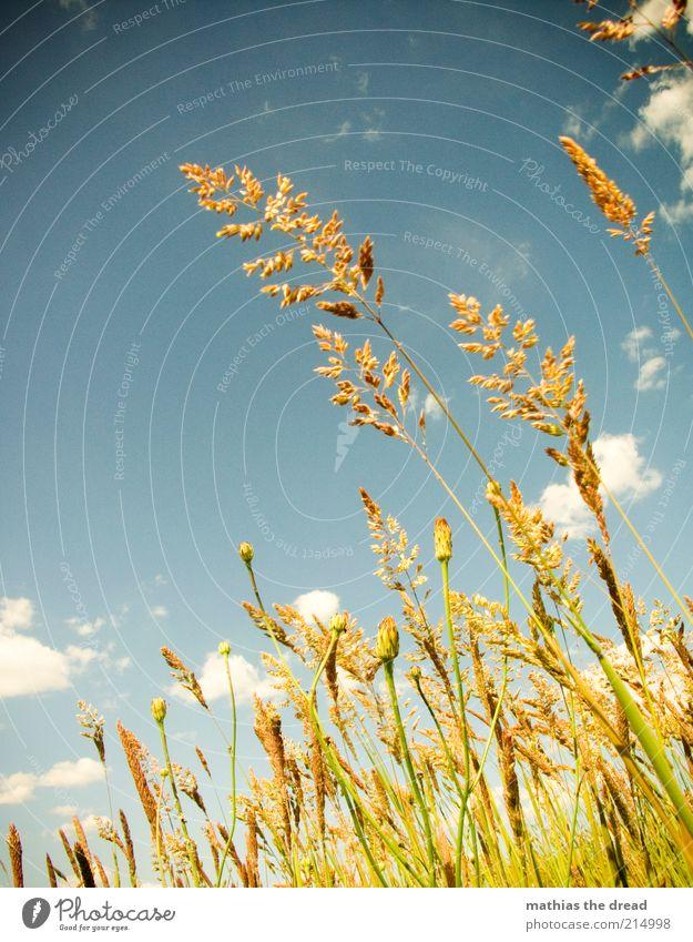 SOMMERWIESE Umwelt Natur Landschaft Pflanze Himmel Wolken Sommer Schönes Wetter Blume Gras Sträucher Grünpflanze Wildpflanze Wiese Feld ästhetisch schön Idylle
