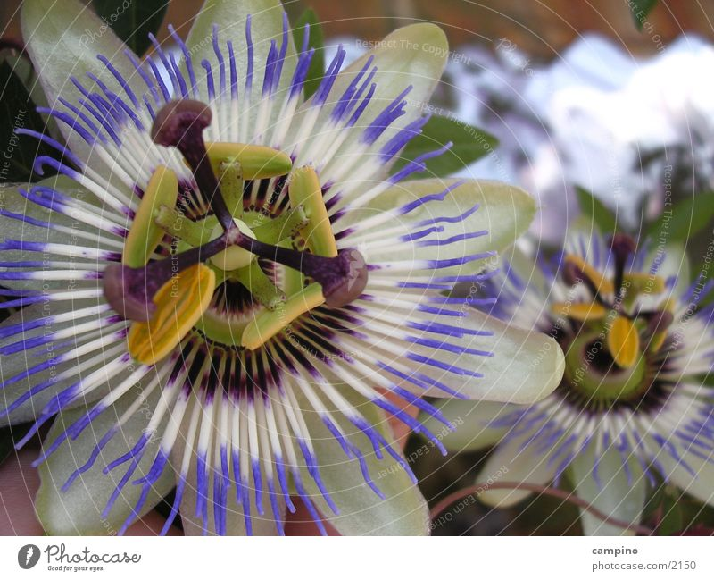 Cerulea Blüte Balkon Frucht Passionsblume Maracuja