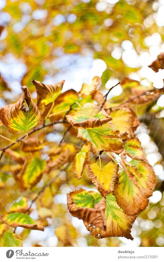 wandlungsfähige natur Natur Baum grün Blatt gelb Farbe Herbst braun Zeit Wandel & Veränderung natürlich Jahreszeiten Zweig Herbstlaub Prozess Anpassung