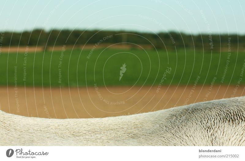auf dem rücken der pferde liegt das glück dieser erde grün weiß Landschaft ruhig Zeit braun Feld trist Rücken Pferd Fell Anschnitt Bildausschnitt kurzhaarig
