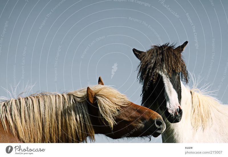 Na komm, gib Küsschen Umwelt Tier Himmel Wolkenloser Himmel Haustier Nutztier Pferd Tiergesicht Mähne 2 Tierpaar Küssen Freundlichkeit natürlich Neugier blau