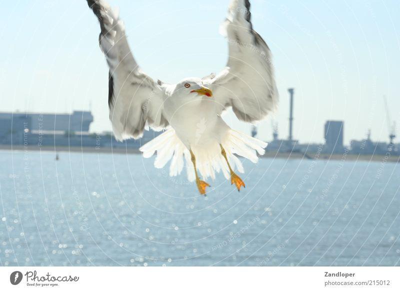 Möve ( Angriff während der Fähtour von Den Helder nach Texel ) Wasser weiß Tier grau Vogel fliegen nah Flügel natürlich Dynamik Vogelflug