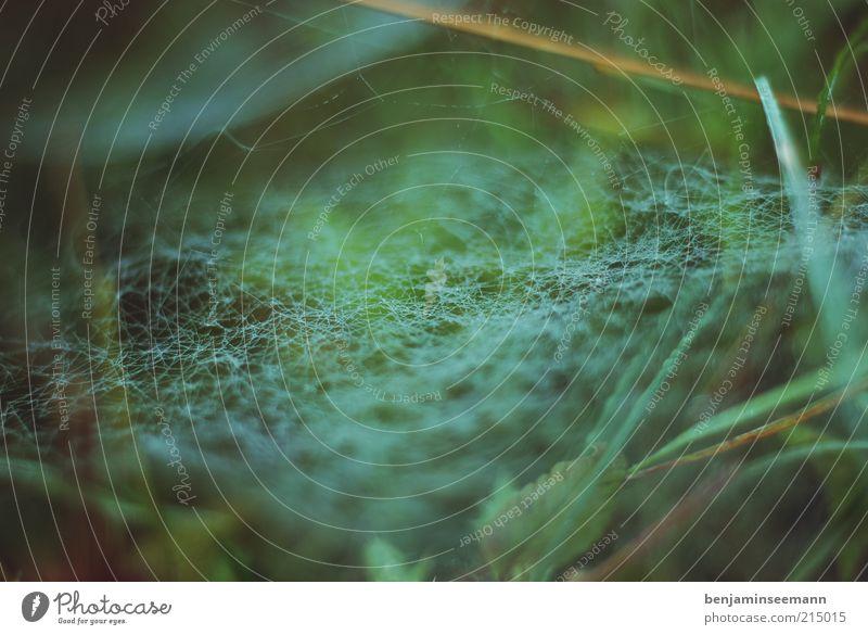 spinnennetz morgentau Natur Pflanze Gras Blatt Grünpflanze Spinnennetz grün ruhig Falle Netz Hintergrundbild Spinngewebe Farbfoto Außenaufnahme Nahaufnahme