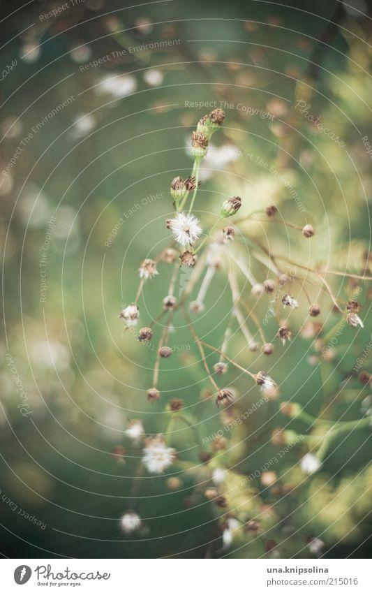 für frau e. Pflanze Sträucher verblüht dehydrieren Blüte Unschärfe Trockenblume grün weiß trocken Dürre Menschenleer Farbfoto Außenaufnahme Nahaufnahme