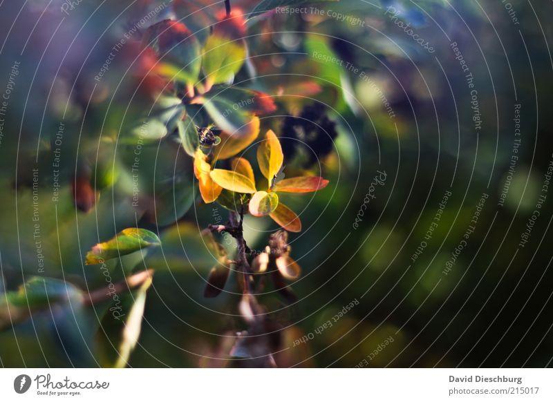 Die Zeit der Farben Natur grün schön Pflanze Blatt Herbst Sträucher Jahreszeiten Zweig Herbstlaub welk herbstlich Herbstfärbung Herbstbeginn