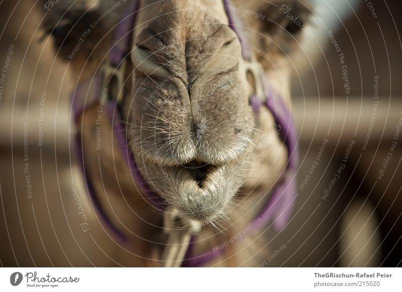 camel schön Ferien & Urlaub & Reisen schwarz Tier Ferne Sand braun Nase Ausflug Tiergesicht Klima violett Wüste Schönes Wetter Natur Naher und Mittlerer Osten