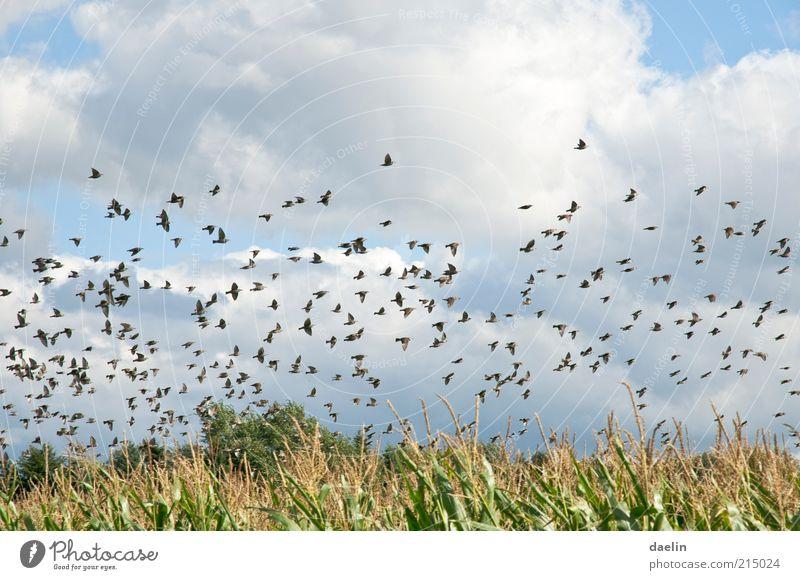 birds above cornfield Natur Himmel blau Sommer Wolken Tier Landschaft Vogel Feld fliegen Schwarm Nutzpflanze Vogelschwarm