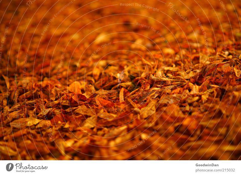 Herbstgold. Umwelt Natur Klima Schönes Wetter Blatt Park leuchten frisch schön Stimmung Herbstlaub herbstlich Herbstfärbung Herbstbeginn Farbfoto Außenaufnahme