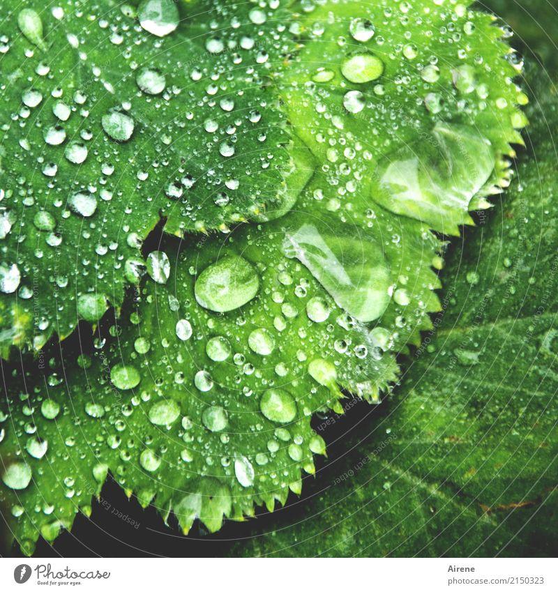 Frauenregenmantel Pflanze Urelemente Wassertropfen Regen Blatt Grünpflanze Frauenmantel Frauenmantelblatt Tropfen Zacken glänzend ästhetisch frisch Gesundheit