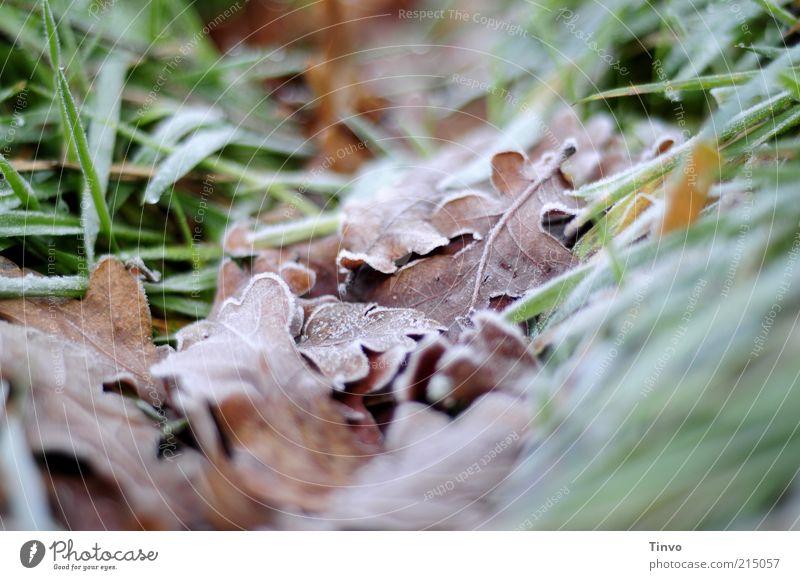 eingebettet Natur Herbst Winter Blatt braun grün Frost Eichenblatt Gras Herbstlaub kalt Farbfoto Außenaufnahme Menschenleer Schwache Tiefenschärfe Raureif