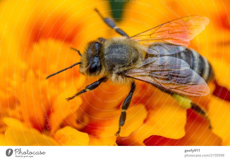 Bienenjoga;-) Natur Pflanze Sommer Sonne Blume Tier gelb Umwelt Blüte Frühling Wiese natürlich Garten orange Park elegant