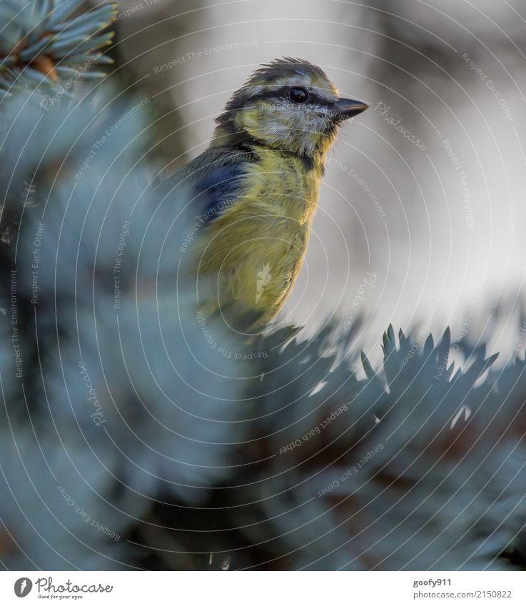 Beobachten elegant Umwelt Natur Sonne Sonnenlicht Frühling Sommer Baum Garten Park Wald Tier Wildtier Vogel Tiergesicht Flügel Fell Meisen 1 beobachten