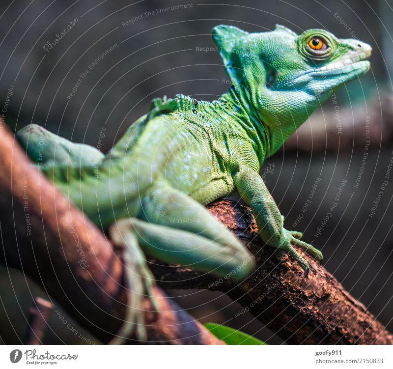 Grüner Dino ;-))) Safari Expedition Umwelt Natur Baum Ast Wald Urwald Tier Wildtier Tiergesicht Schuppen Pfote Zoo Echsen Echsenauge 1 beobachten hängen stehen
