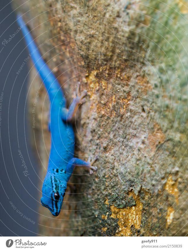 Auffallend.... Abenteuer Safari Expedition Umwelt Natur Baum Wald Urwald Tier Wildtier Tiergesicht Schuppen Fährte Zoo Echsen 1 stehen exotisch frech schön blau