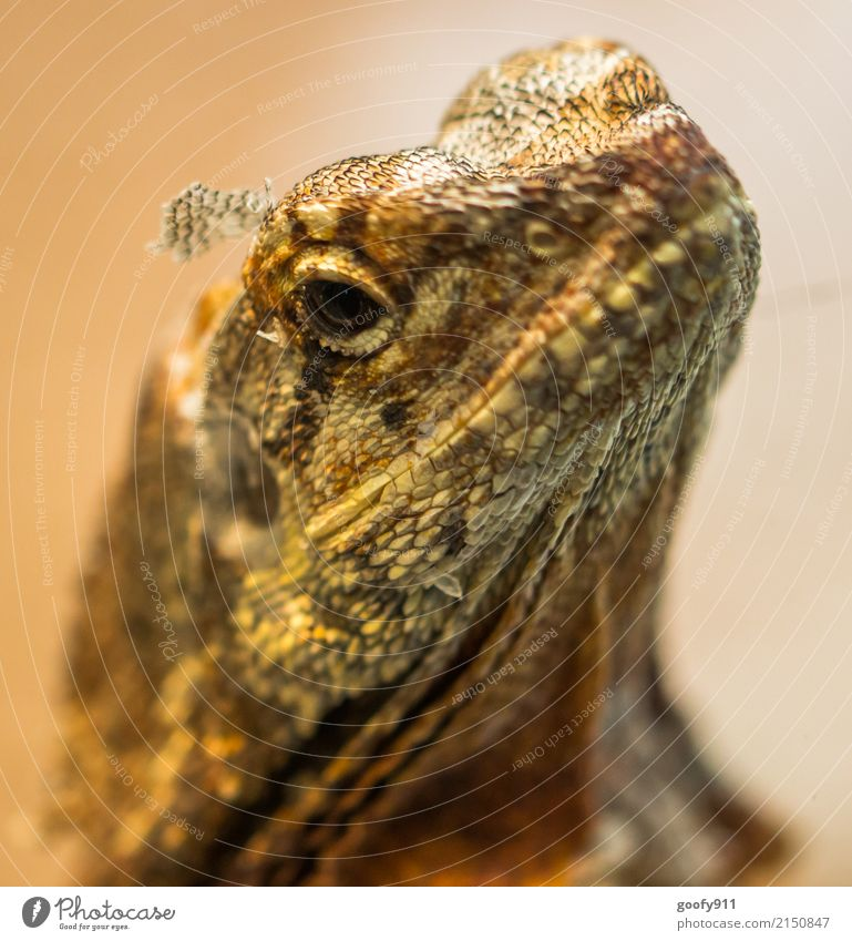 Schuppig... Safari Expedition Umwelt Natur Wüste Tier Wildtier Tiergesicht Schuppen Zoo Echsen Echsenauge 1 beobachten entdecken träumen ästhetisch elegant