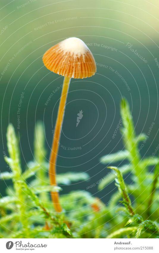 Winzling Umwelt Natur Pflanze Herbst Moos grün Pilz Pilzhut klein Waldboden herbstlich Farbfoto Nahaufnahme Detailaufnahme Makroaufnahme Schwache Tiefenschärfe