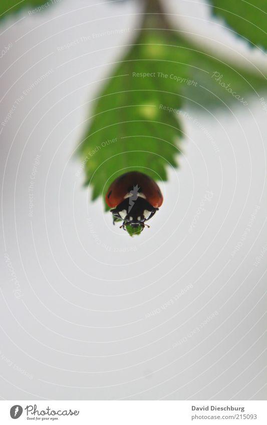 Sackgasse Natur grün Sommer Pflanze rot Tier Blatt schwarz grau Wildtier Tiergesicht Käfer krabbeln Marienkäfer Makroaufnahme Glücksbringer