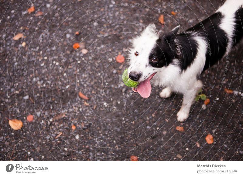 Nochmal! Tier Haustier Hund 1 ästhetisch Fröhlichkeit lustig niedlich positiv schwarz weiß gefleckt Hundeblick Hundekopf Tennisball Zunge Collie Farbfoto
