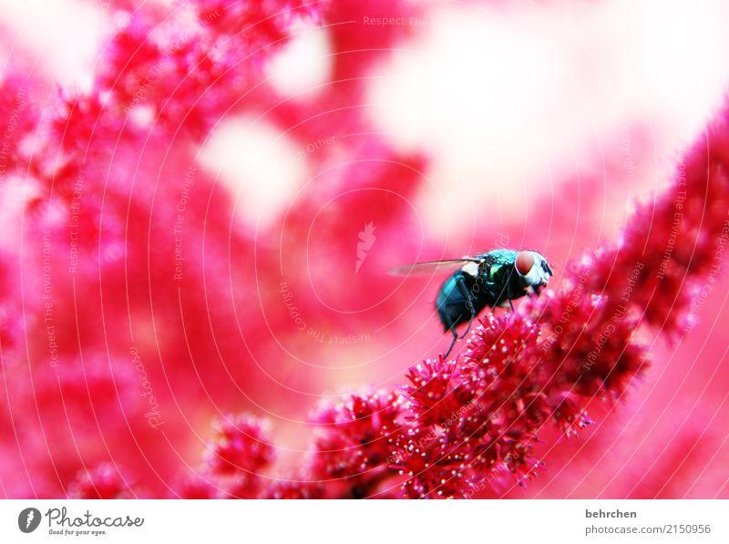 farbenfroh Natur Pflanze Tier Sommer Schönes Wetter Blume Blüte Prachtspiere Garten Park Wiese Wildtier Fliege Tiergesicht Flügel Auge 1 beobachten Blühend Duft