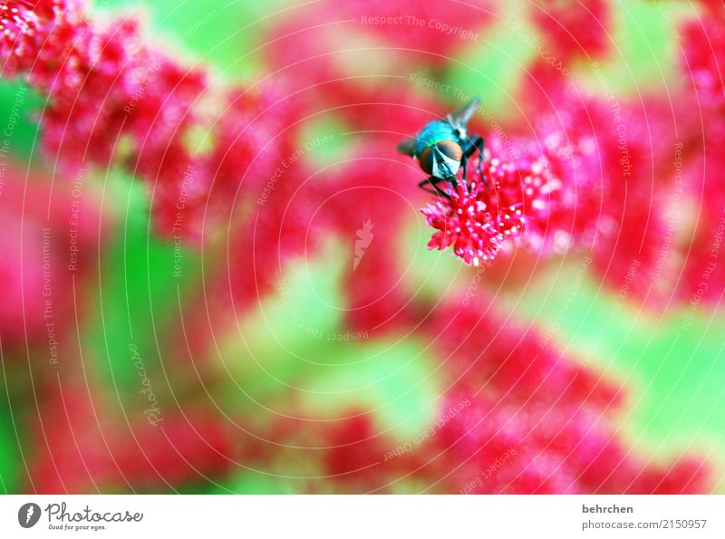 pinkig Natur Pflanze Tier Sommer Blume Blatt Blüte Prachtspiere Garten Park Wiese Wildtier Fliege Tiergesicht Flügel 1 Blühend Duft fliegen Fressen schön grün