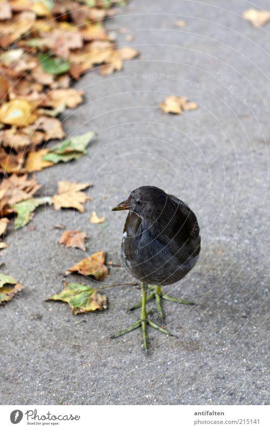 Vogel mit grünem Beinkleid Natur Pflanze Blatt Tier gelb Herbst grau Wege & Pfade braun Umwelt Erde ästhetisch Flügel Asphalt