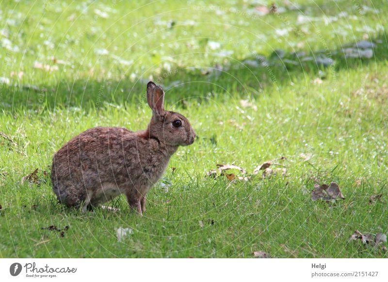 Hasi Umwelt Natur Pflanze Tier Sommer Schönes Wetter Gras Park Wildtier Hase & Kaninchen 1 Blick sitzen einzigartig natürlich braun grau grün Zufriedenheit
