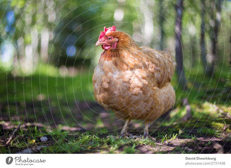 Huhn Lebensmittel Fleisch Ernährung Bioprodukte Landwirtschaft Forstwirtschaft Natur Frühling Sommer Schönes Wetter Wiese Feld Wald Tier Nutztier Vogel 1 Glück