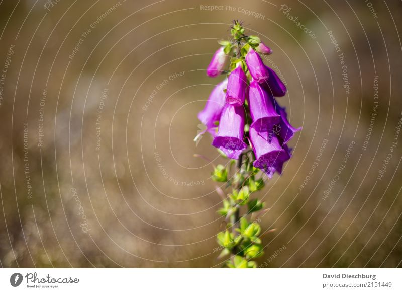 Fingerhut Natur Pflanze Tier Frühling Sommer Schönes Wetter Blume Wildpflanze Wiese Feld Wald braun grün violett Gift Blühend Blüte Querformat Unschärfe