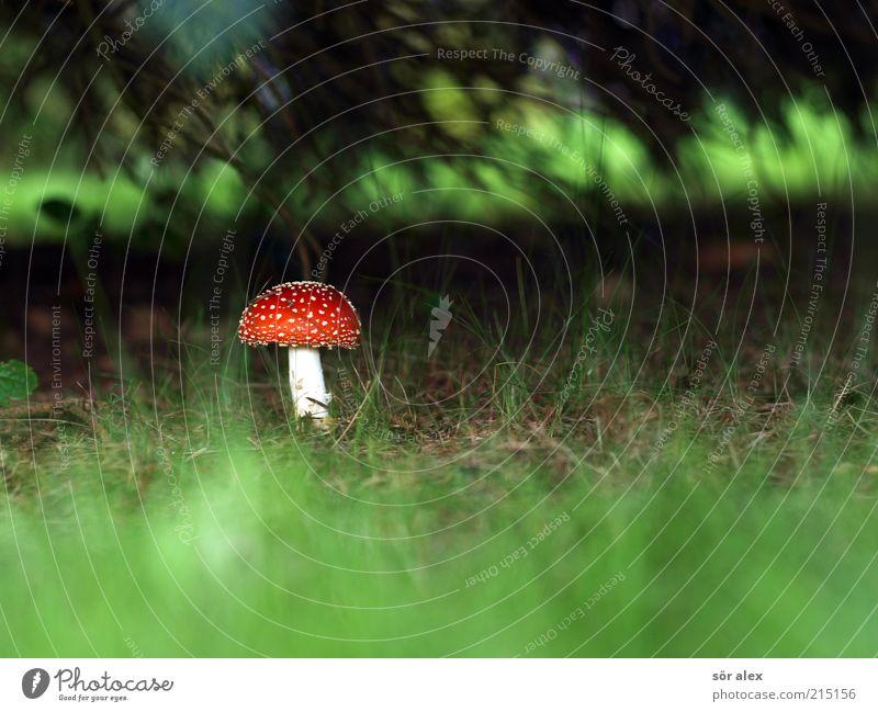 Glückssymbol Natur grün weiß schön Baum Pflanze rot Wald Wiese Ernährung Herbst Gras ästhetisch Wachstum natürlich
