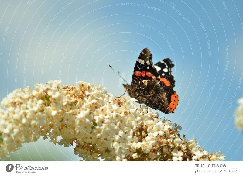 Admiral an der Tankstelle Umwelt Natur Pflanze Tier Luft Himmel Sommer Schönes Wetter Wärme Blüte Wildtier Schmetterling 1 ästhetisch authentisch Ekel frei