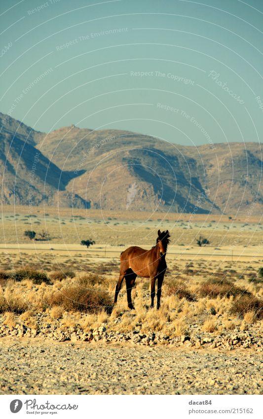 Wildhorse schön blau Tier gelb Gefühle Berge u. Gebirge Landschaft braun Angst gold Pferd trist Sehnsucht Wildtier Schüchternheit Steppe