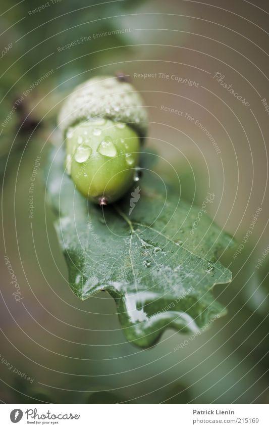 acorn Umwelt Natur Pflanze Herbst Klima Wetter schlechtes Wetter Baum Blatt atmen ästhetisch frisch glänzend schön nass grün Stimmung Zufriedenheit Eiche
