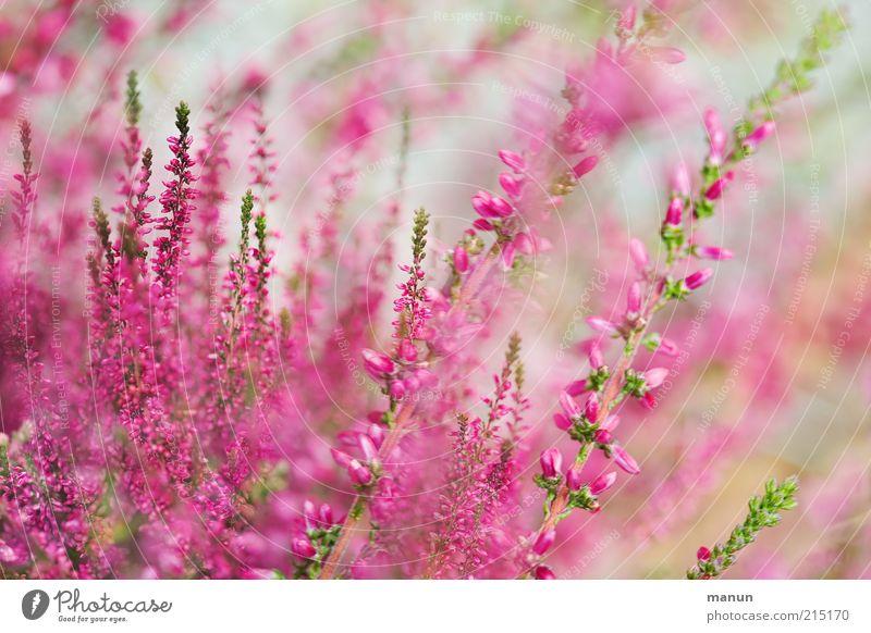 Erika Natur Sommer Pflanze Blume Sträucher Blatt Blüte Bergheide Heidekrautgewächse Garten Blühend frisch schön rosa Stauden Farbfoto Außenaufnahme Tag