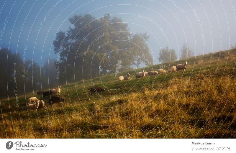Schafherde Natur Himmel Baum grün blau Ferien & Urlaub & Reisen ruhig Tier Wiese Herbst Gras Landschaft braun Zusammensein Nebel