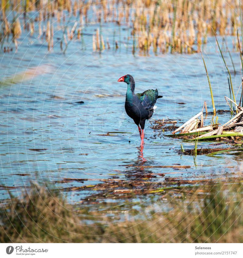 Afrikanisches Purpurhuhn Wasser Tier Ferne Umwelt natürlich Küste Freiheit See Vogel Ausflug Wildtier Fluss Seeufer Flussufer exotisch Expedition