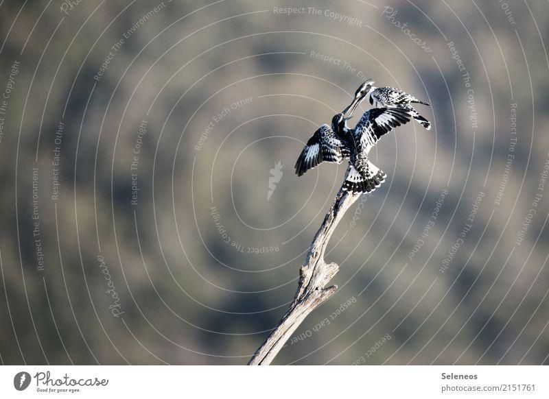 Zwiegespräch Ausflug Abenteuer Ferne Freiheit Umwelt Natur Küste Seeufer Flussufer Tier Wildtier Vogel Eisvögel Graufischer 2 Tierpaar fliegen Zusammensein