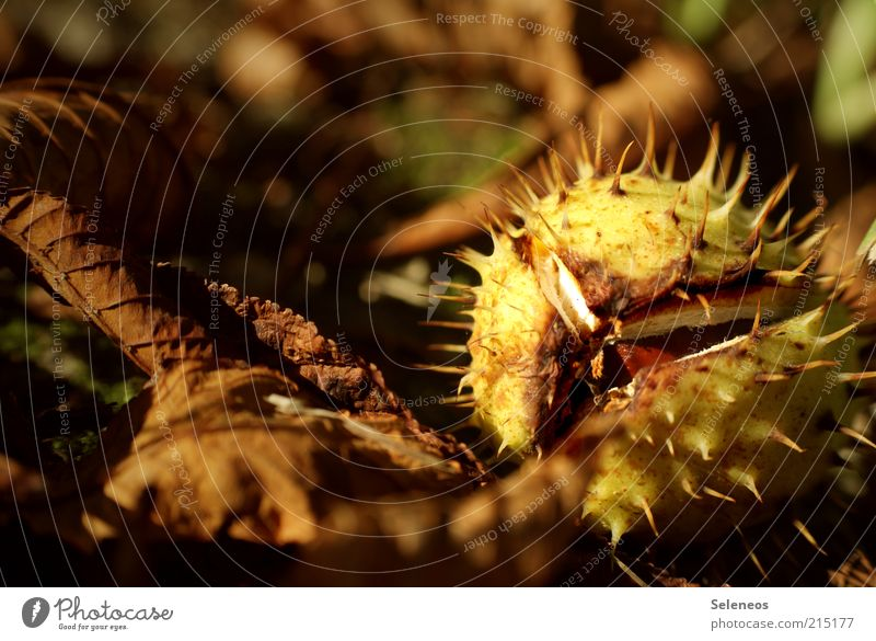 Frischeversiegelt Umwelt Natur Herbst Pflanze Blatt Kastanie dehydrieren klein natürlich trocken Frucht Farbfoto Außenaufnahme Licht Schatten Sonnenlicht