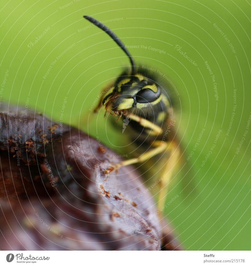 Wespe frißt eine leckere verfaulte Pflaume Fressen Wespen Facettenauge Wespengesicht Tiergesicht Maul Frucht nah grün violett verfaulen fruchtig hellgrün