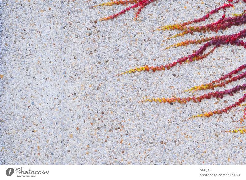 4 Stunden Herbst Pflanze Wein Ranke Bauwerk Mauer Wand mehrfarbig gelb grau rot Farbfoto Außenaufnahme Menschenleer Textfreiraum links Tag Textfreiraum Mitte